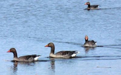 geese by Takiako-Nakashi