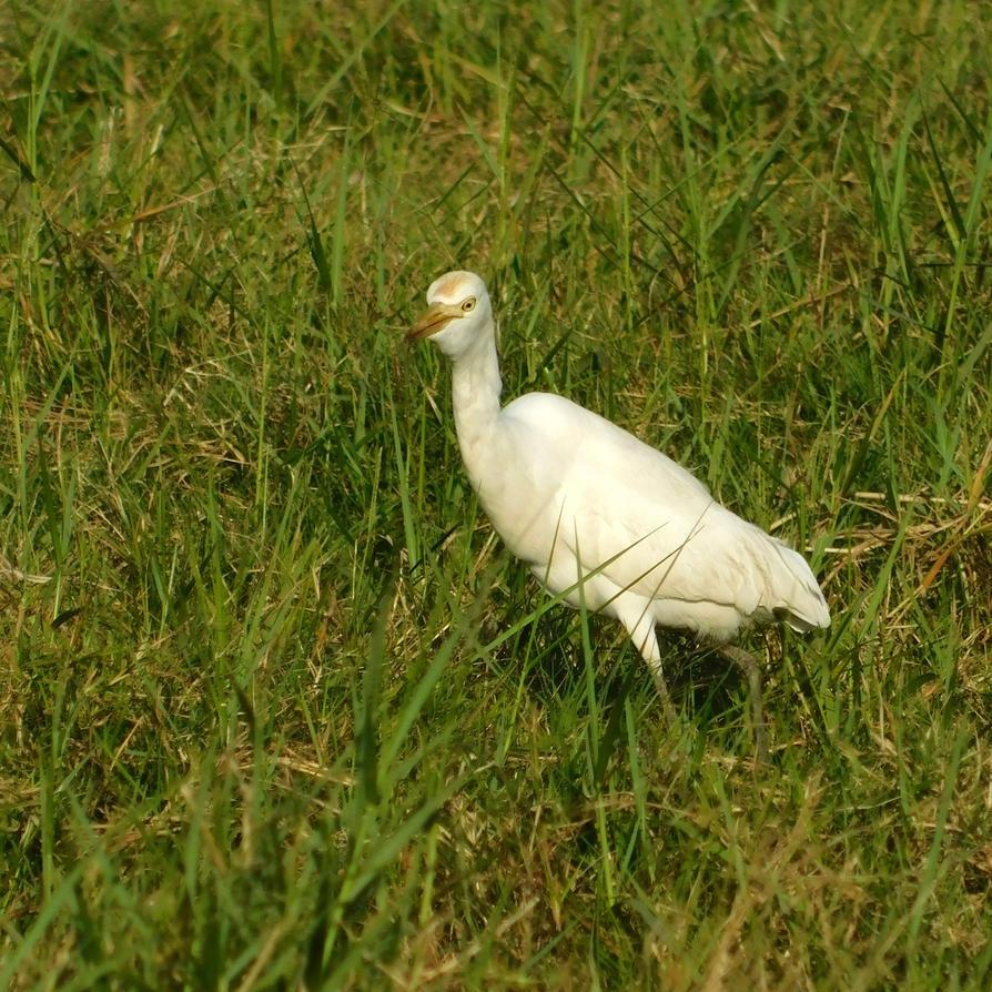 The cattle egret by Takiako-Nakashi