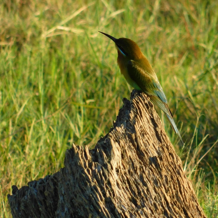 The blue-tailed bee-eater by Takiako-Nakashi