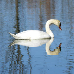 mute swan by Takiako-Nakashi