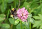 Bumblebee on the clover by Takiako-Nakashi