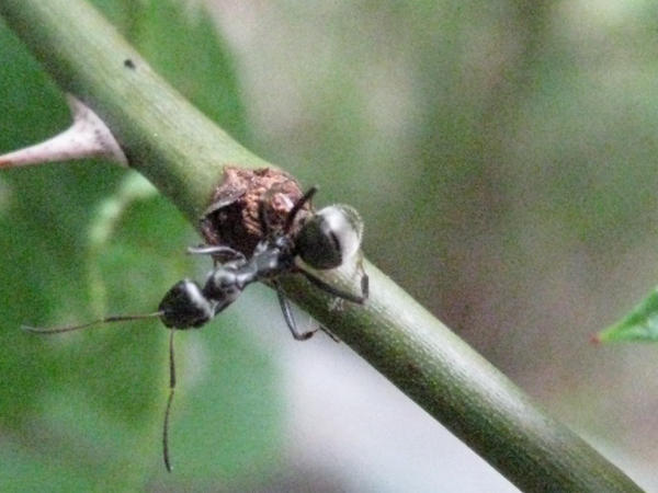 Ant on a rose stem by Sylvie-Liliea