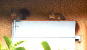 Duo d'ecureuils roux