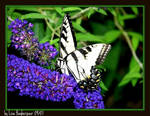 The Butterfly 2