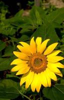 Sunflower Stock by FairieGoodMother