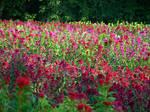 Field of Flowers 11