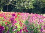 Field of Flowers 13