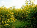 Field of Yellow Flowers 7