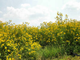 Field of Yellow Flowers 8 by FairieGoodMother