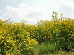 Field of Yellow Flowers 8