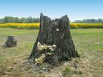Tree Stump stock 7