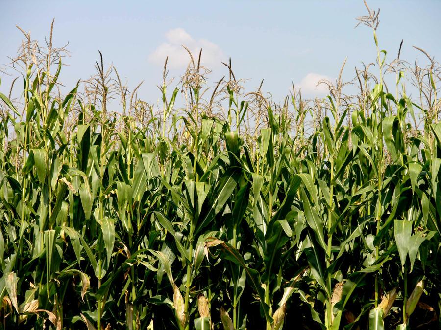 corn stalks 7 by fairiegoodmother on deviantart