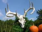Antlers Skull Stock 2