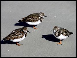 Birds on Beach stock by FairieGoodMother