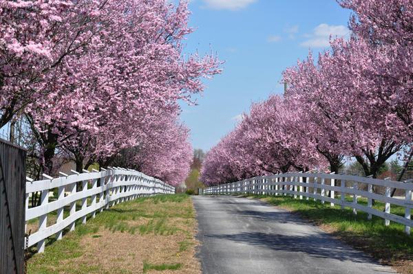 Pink Blooming Trees
