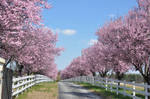 Pink Blooming Trees 2