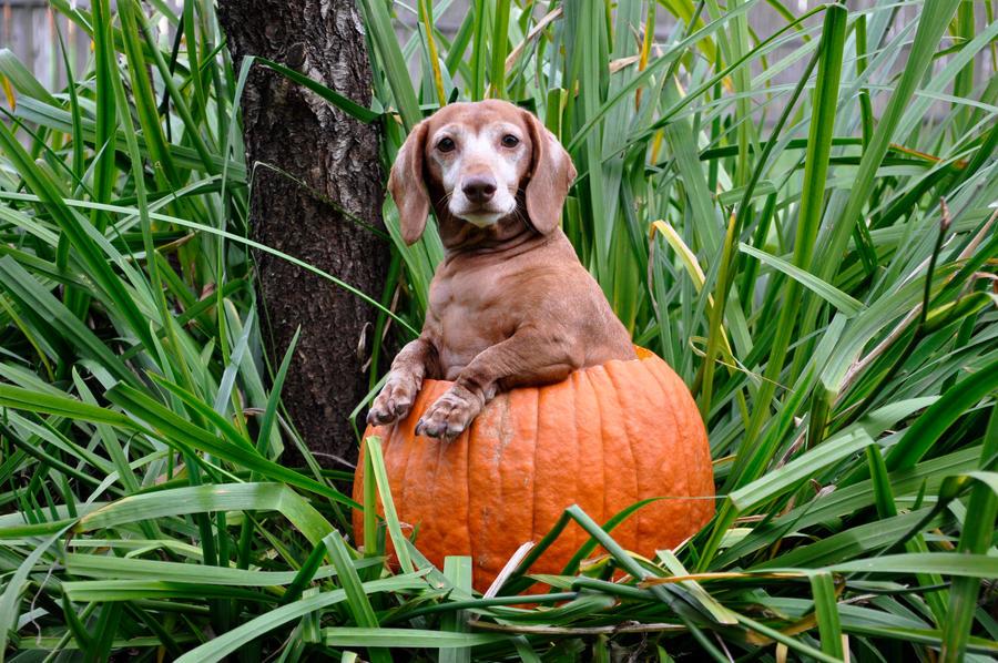 Pumpkin Stock 3 by FairieGoodMother
