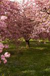 Cherry Blossoms Stock 3