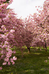 Cherry Blossoms Stock 20 by FairieGoodMother