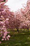 Cherry Blossoms Stock 20