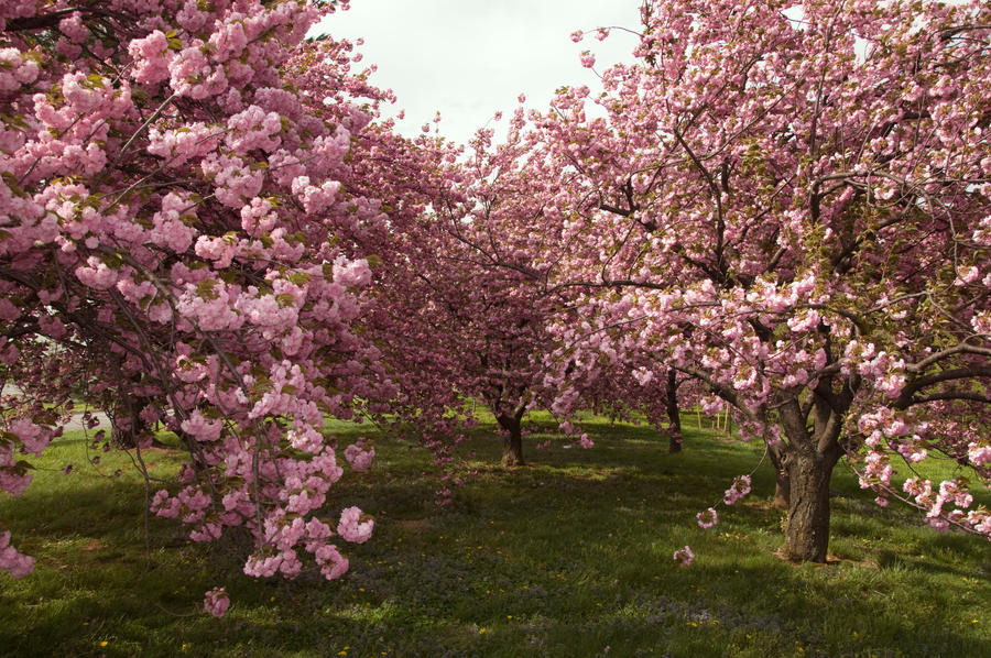 Cherry Blossoms Stock 21
