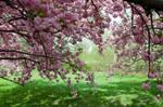 Cherry Blossoms Stock 24