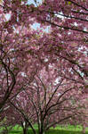 Cherry Blossoms Stock 27