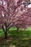 Cherry Blossoms Stock 33
