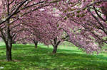 Cherry Blossoms Stock 35