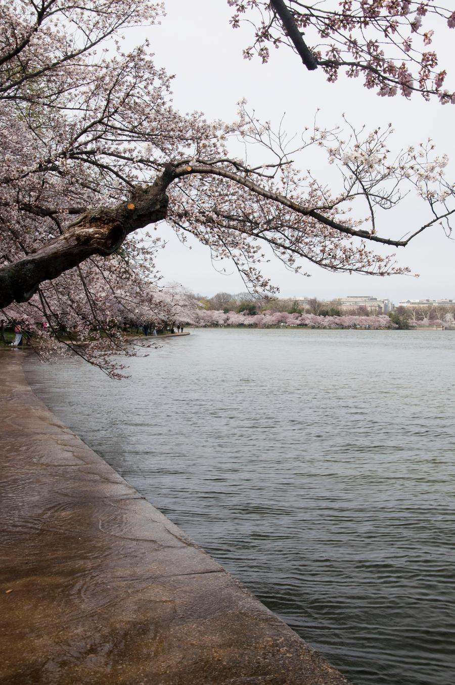 Cherry Blossom Festival 025 by FairieGoodMother