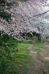 Cherry Blossom Festival 026