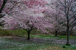 Cherry Blossoms 9