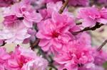 Fairmount Park  Cherry Blossoms 06