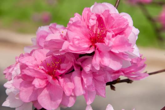 Fairmount Park  Cherry Blossoms 08 by FairieGoodMother