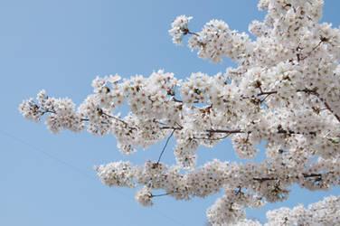 Fairmount Park  Cherry Blossoms 09 by FairieGoodMother