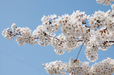 Fairmount Park  Cherry Blossoms 10 by FairieGoodMother