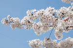 Fairmount Park  Cherry Blossoms 10
