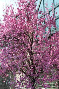Fairmount Park  Cherry Blossoms 12 by FairieGoodMother
