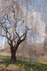 Fairmount Park  Cherry Blossoms 17 by FairieGoodMother