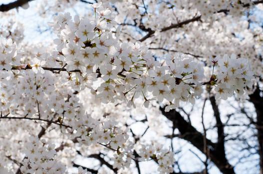 Fairmount Park  Cherry Blossoms 29 by FairieGoodMother