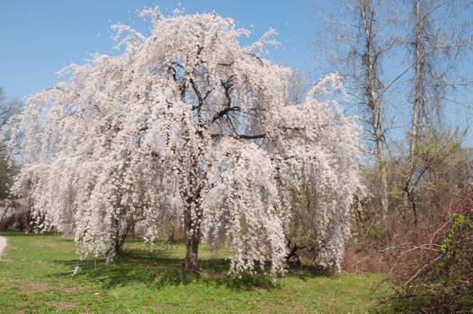 Fairmount Park  Cherry Blossoms 31 by FairieGoodMother
