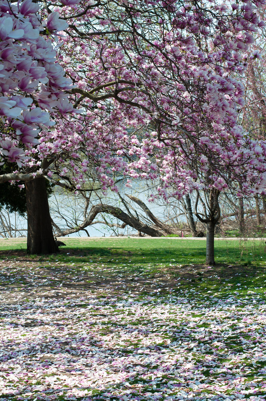 Fairmount Park Magnolia Blossoms 2 by FairieGoodMother