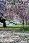 Fairmount Park Magnolia Blossoms 2