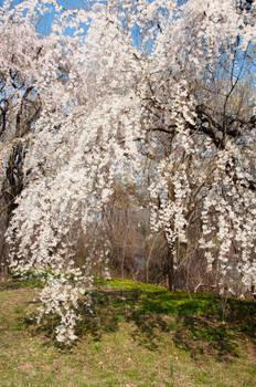 Fairmount Park  Cherry Blossoms 32 by FairieGoodMother
