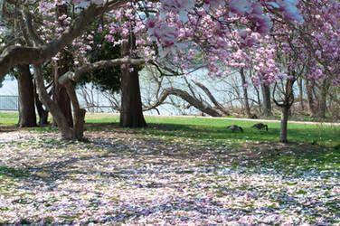 Fairmount Park  Cherry Blossoms 33 by FairieGoodMother