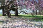 Fairmount Park  Cherry Blossoms 33