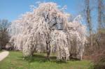 Fairmount Park  Cherry Blossoms 34