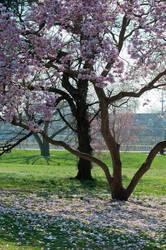 Fairmount Park  Cherry Blossoms 35 by FairieGoodMother