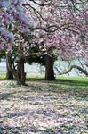 Fairmount Park  Cherry Blossoms 36