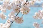 Cherry Blossom Festival 10
